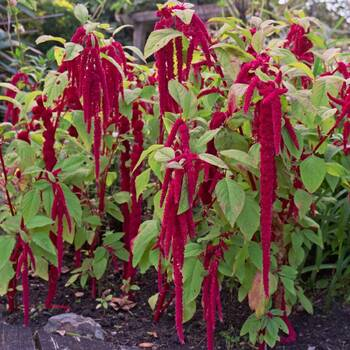 Amaranth- Caudatas Red