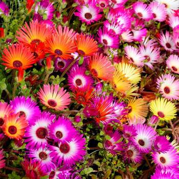 Livingstone Daisy Mix