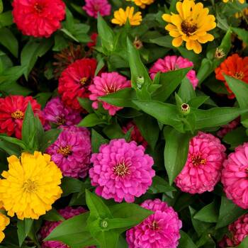 Zinnia- Lilliput Mix