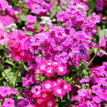 Phlox- Cecily Mixed