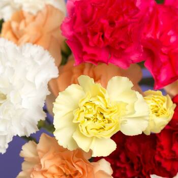 Carnation- Chabaud Superb Finest Mix