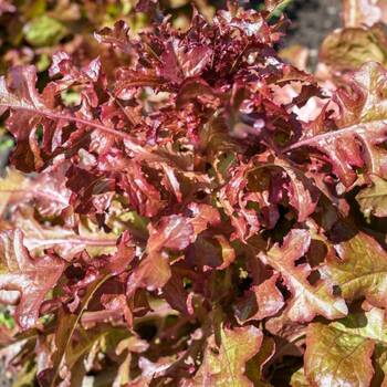 Lettuce- Salad Bowl Red