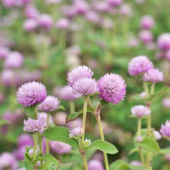 Globe Amaranth- Tall Rose