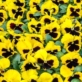 Pansy- Swiss Giants Rhinegold