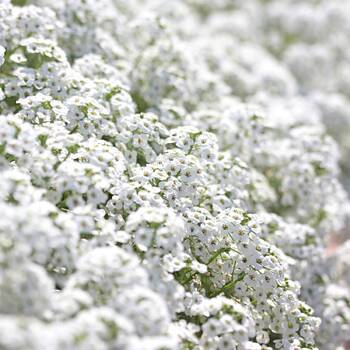 Alyssum- Snow Cloth