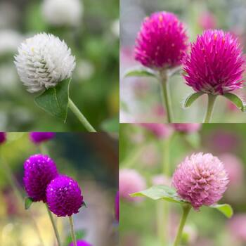 Globe Amaranth- Tall Mix