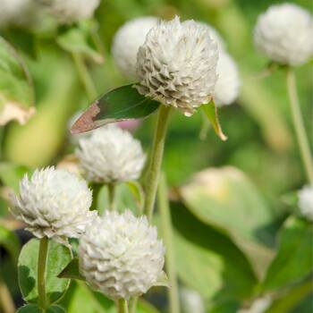 Globe Amaranth- Tall White