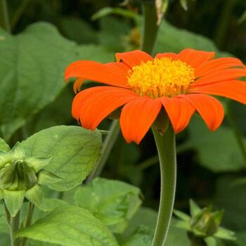 Mexican Sunflower- Goldfinger