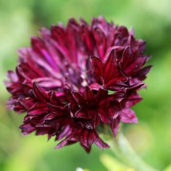 Cornflower- Black Ball