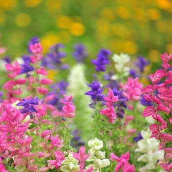 Salvia- Tricolour Mix