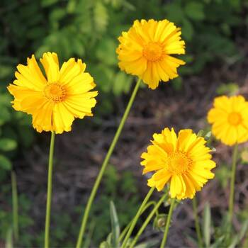 Coreopsis- Mayfield Giants
