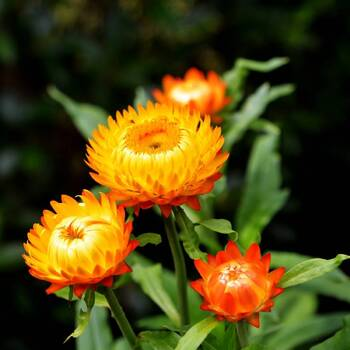 Everlasting Daisy- Orange