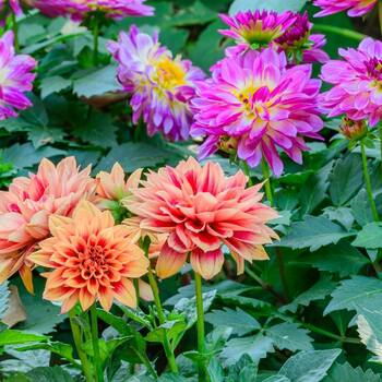 Dahlia- Dwarf Double Opera Mix