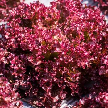 Lettuce- Selway Red