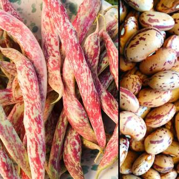 Borlotti Bean- Red Rooster