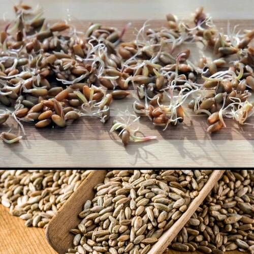 Sprouting Seeds- Rye 100g ORGANIC
