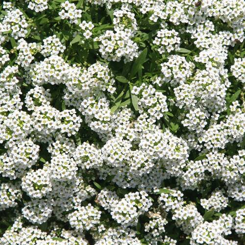 Alyssum- Carpet of Snow