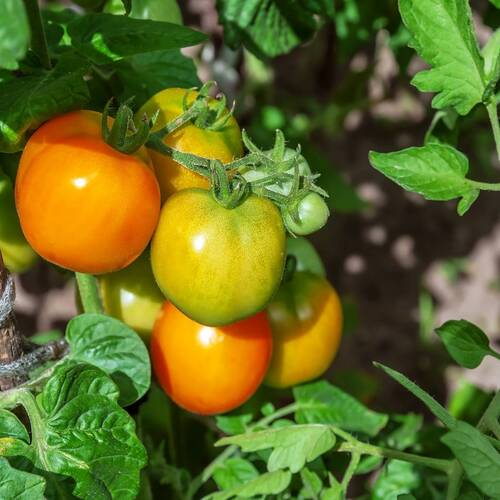 Tomato- Jubilee Yellow