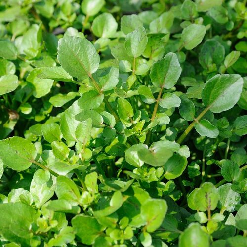 Water Cress