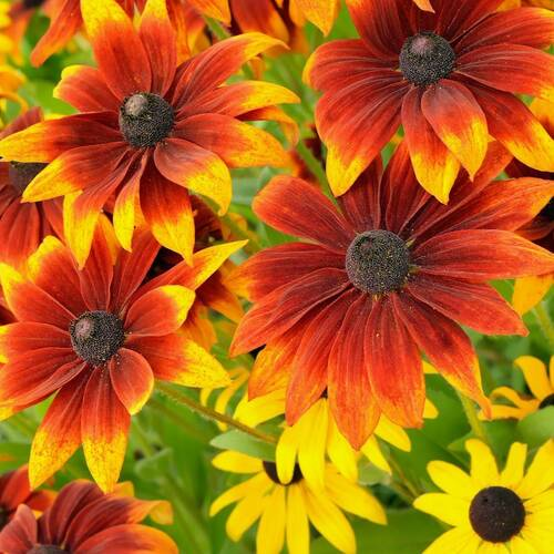 Black Eyed Susan- Rustic Dwarf Mixed