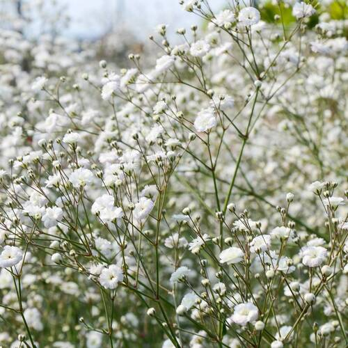 Baby's Breath- Snowflake