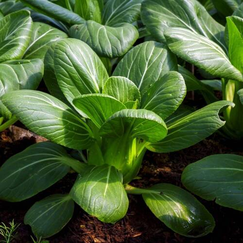 Cabbage, Chinese- Pak Choi- Green