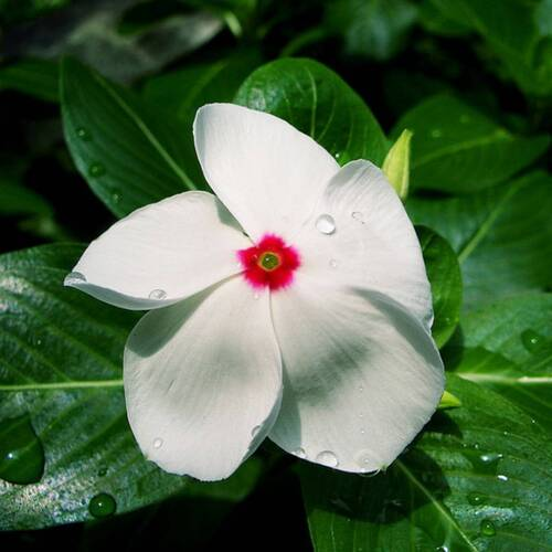 Vinca- Dwarf Bright Eye