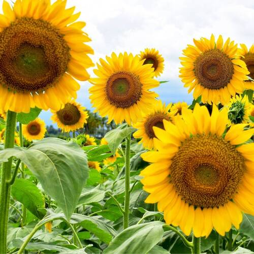 Sunflower- Sunfola